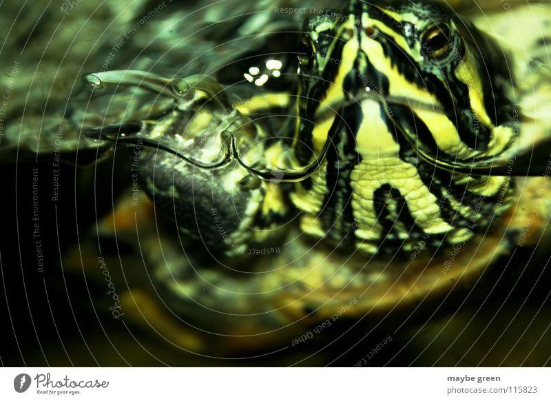 Sehnsucht Wasser alt Tier Streifen Aquarium Schildkröte gepanzert Würzburg Kröte