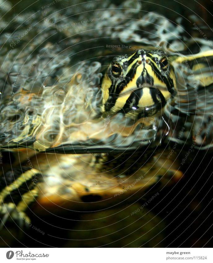 Da bin ich... Wasser alt Tier Streifen Aquarium Schildkröte gepanzert Würzburg Kröte