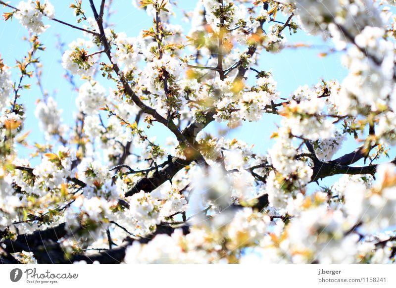 kirschfabrik Natur Pflanze Himmel Wolkenloser Himmel Frühling Schönes Wetter Blüte Nutzpflanze Blühend Duft blau weiß Kirschbaum Kirschblüten Blütenknospen