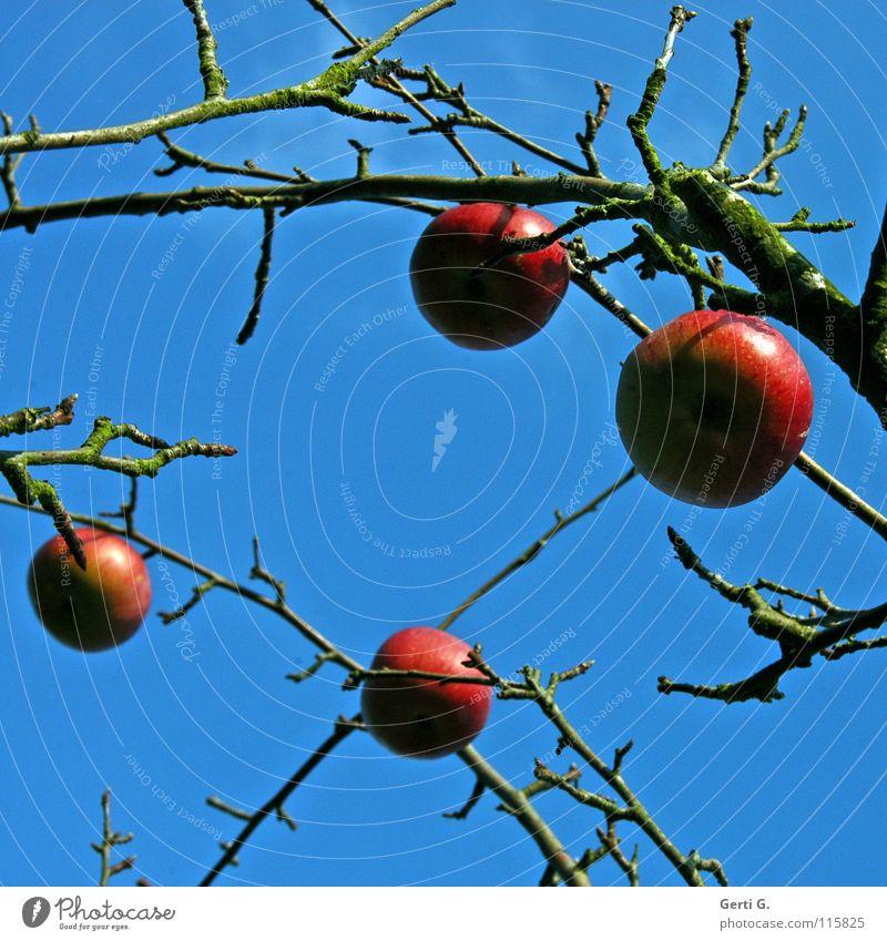 glitterballz Baum Apfelbaum rot Lebewesen Herbst laublos himmlisch Wolken himmelblau Ernährung Gesundheit ökologisch Obstbaum Frucht Himmel Blauer Himmel