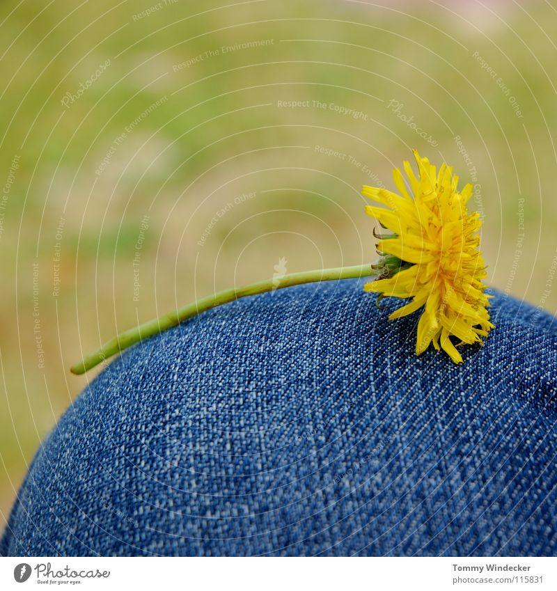 Taraxacum Natur Blume grün blau Pflanze gelb Erholung Wiese Blüte Gras Frühling Jeanshose Rasen Frieden liegen Stengel