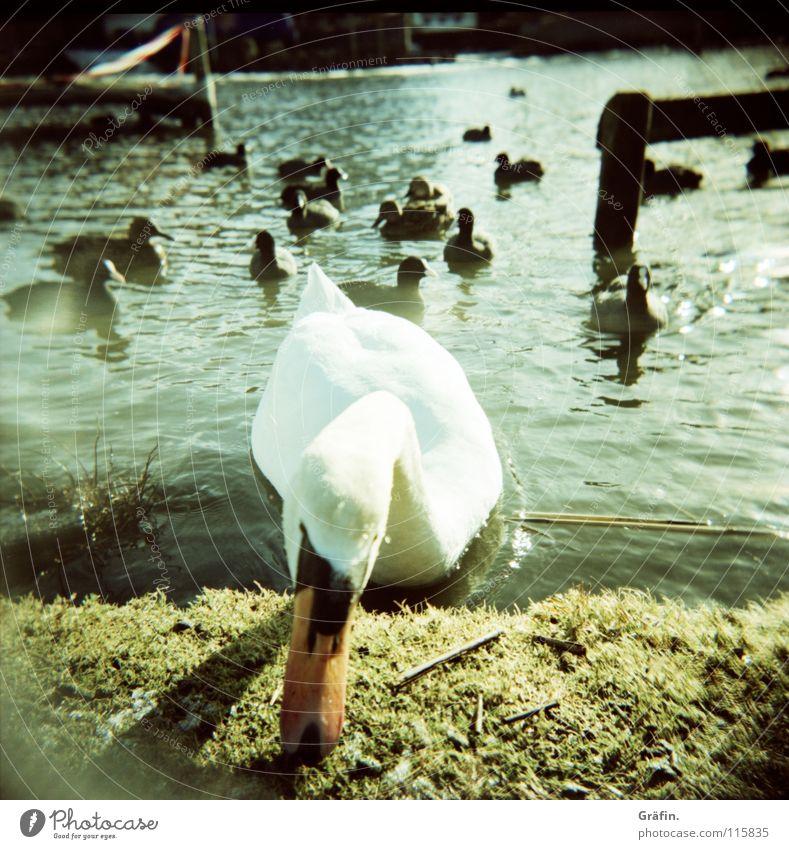 Winterschwan Schwan gefroren kalt Neugier Vogel weiß Schnabel Steinhuder Meer Holga Steg Holz Gras Aggression Ente Eis Wasser Feder Lomografie schnattern Küste
