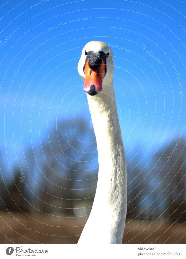 Schwan, schiefer Hals elegant schön Ausflug Umwelt Natur Schönes Wetter Tier Wildtier Tiergesicht 1 beobachten füttern ästhetisch dünn groß hoch lang nah