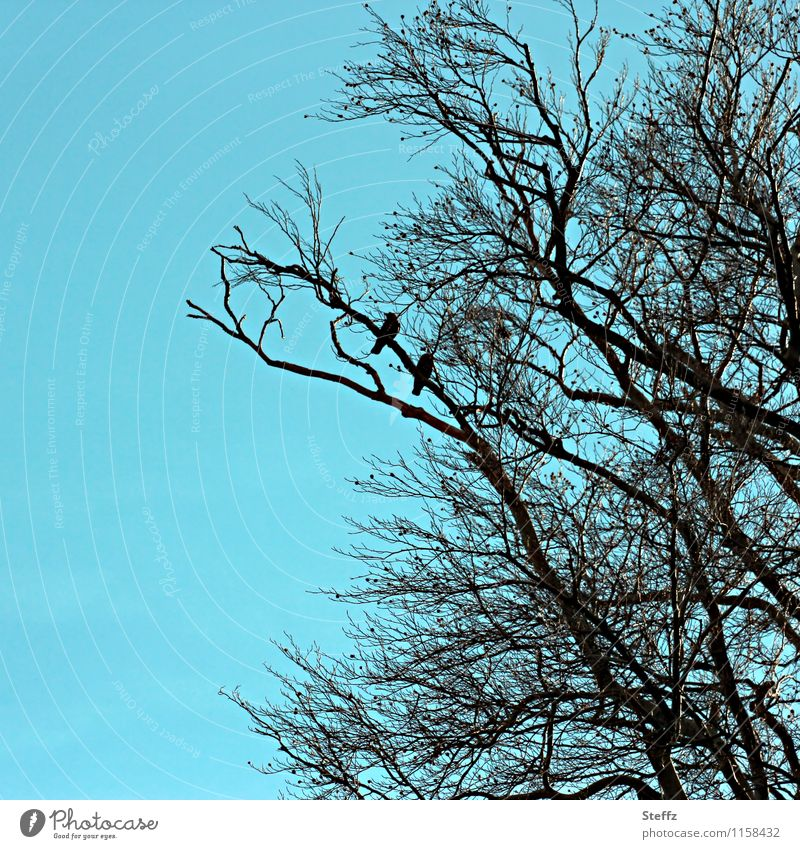 zwei auf einem Ast Vögel Vogelpaar Tierpaar türkiser Himmel Zweig blau Silhouette blauer Himmel laublose Bäume türkisblau schwarz April Schatten Vögel sitzend