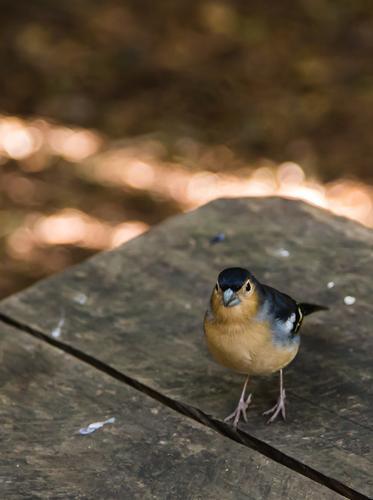 Ein frecher spanischer Fink schaut was er abstauben kann. Blick in die Kamera Tierporträt Menschenleer Nahaufnahme Außenaufnahme Farbfoto Gomera Spanien Spatz