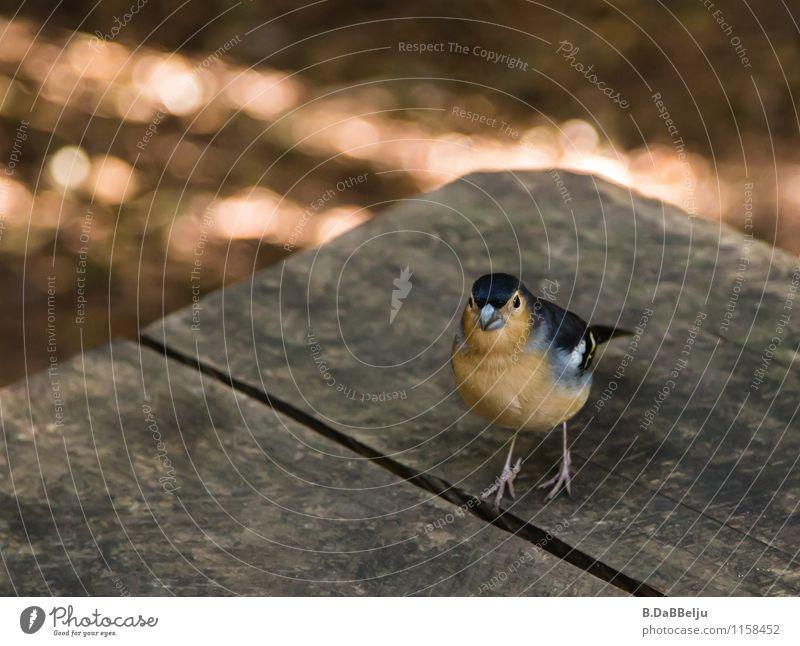 kleiner Gast Natur Tier Vogel Wildtier niedlich Neugier Spanien frech achtsam Spatz Gomera Fink