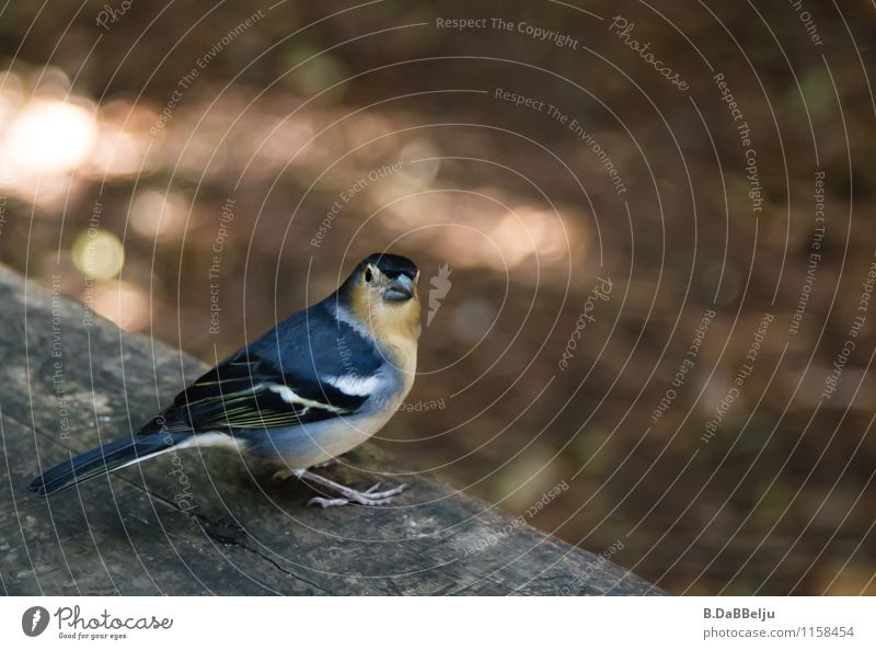 Piepmatz Natur Tier Wildtier Vogel 1 Neugier Gomera Fink Buchfink Kanaren Farbfoto Außenaufnahme Nahaufnahme Blick in die Kamera