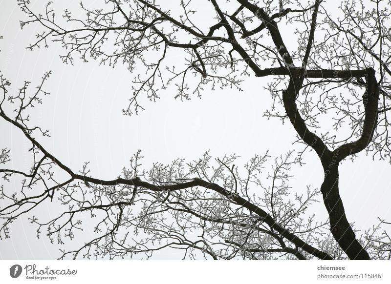 Rauhreif Baum Winter kalt Schnee Eis Ast Zweig Raureif Monochrom