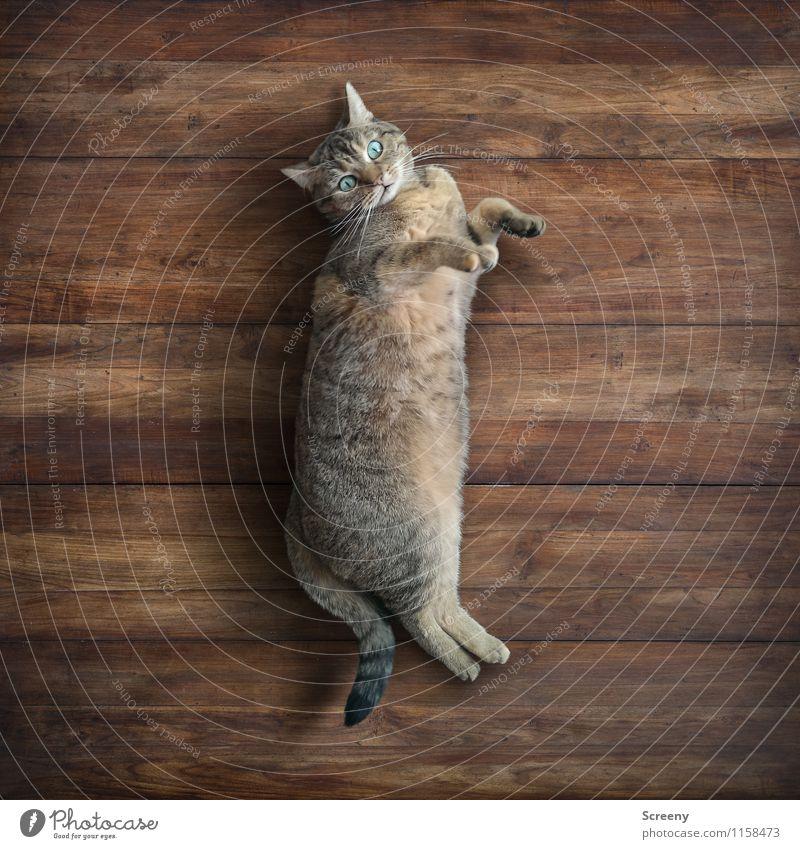 Faules Stück Tier Haustier Katze Fell Pfote 1 Holz liegen Blick Glück kuschlig klein Zufriedenheit Geborgenheit Gelassenheit ruhig Trägheit bequem Erholung