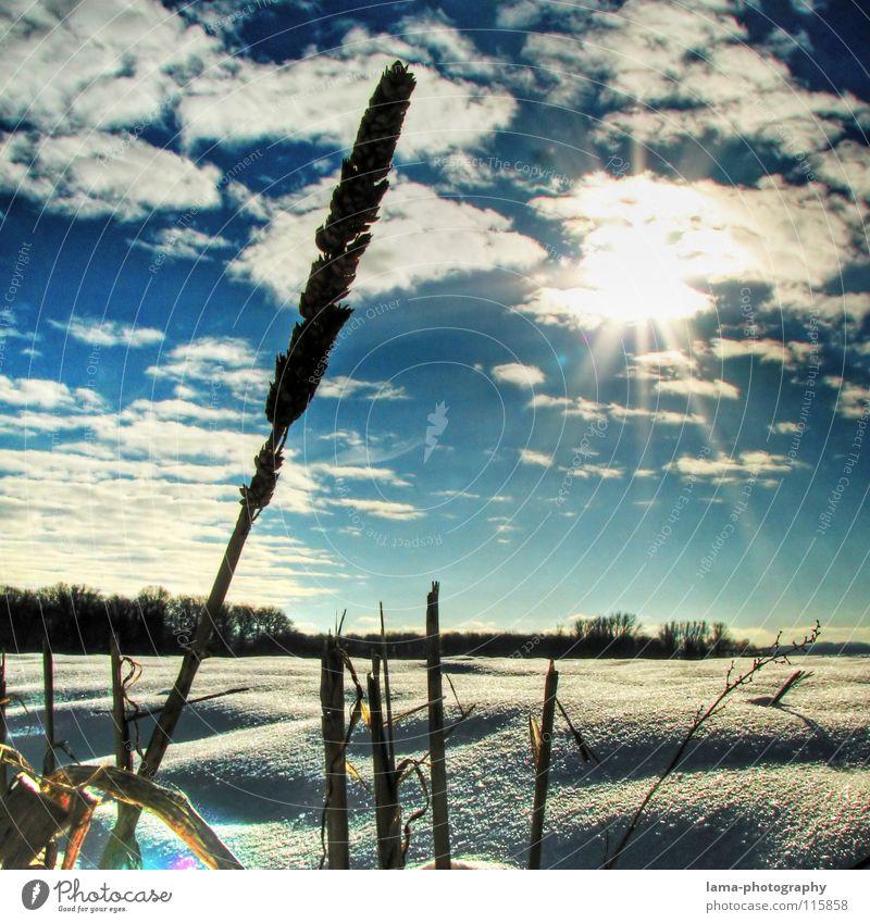 Schneelandschaft² Winter Feld Wiese Tiefschnee Neuschnee Ähren Weizen Halm Sonne Wolken Schneeflocke Gegenlicht blenden Silhouette Waldrand Sonnenstrahlen