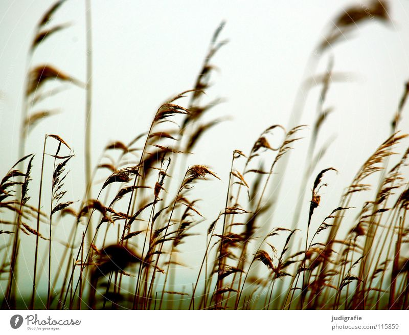 Am Bodden Gras Schilfrohr Vorpommersche Boddenlandschaft See weich kalt Umwelt Pflanze Farbe Strand Küste Wind rispen Pollen wehen Natur