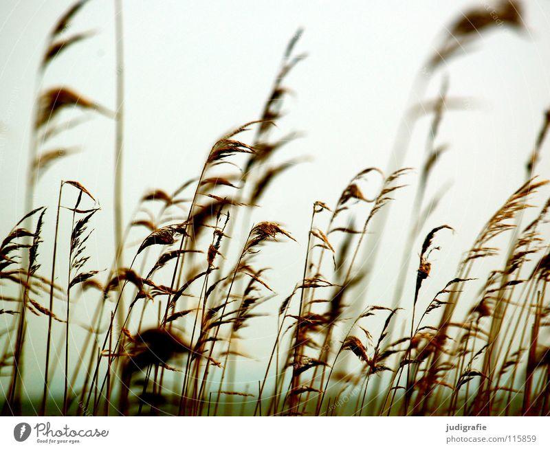 Am Bodden Natur Pflanze Strand Farbe kalt Gras See Küste Wind Umwelt weich Schilfrohr Pollen wehen Vorpommersche Boddenlandschaft