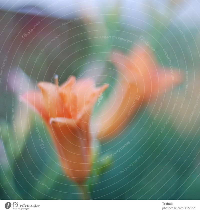 Zwei Blumen grün Unschärfe Sommer verwaschen weich zart gemalt Gemälde Pflanze orange Natur Garten Erholung gesoftet
