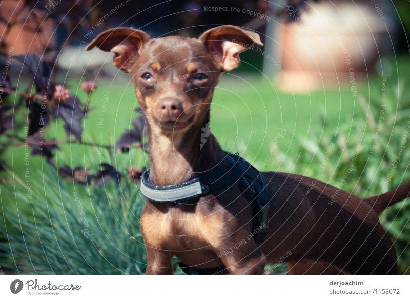 Fränkische Dogge. Ein Kleiner Hund mit aufgestellten Ohren sieht wachsam in die Umgebung. Er steht im Gras. Freude Leben Sommer Garten Natur Schönes Wetter