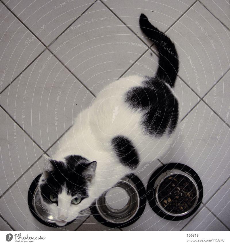 WOHLSTANDSKATZE OF THE YEAR Ernährung Schalen & Schüsseln ruhig Tier Fell Katze Tiergesicht Fressen füttern dick schwarz weiß scheckig Hauskatze