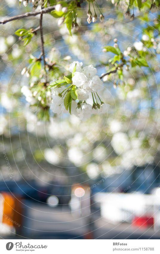 Frühling in der Stadt Pflanze grün weiß Sonne Baum Blüte Stimmung Fröhlichkeit Schönes Wetter Frühlingsgefühle