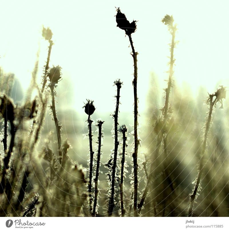 Frozen Natur Sonne Pflanze Winter dunkel kalt Schnee Wiese Gras Landschaft Beleuchtung Nebel Frost Jahreszeiten Samen Raureif