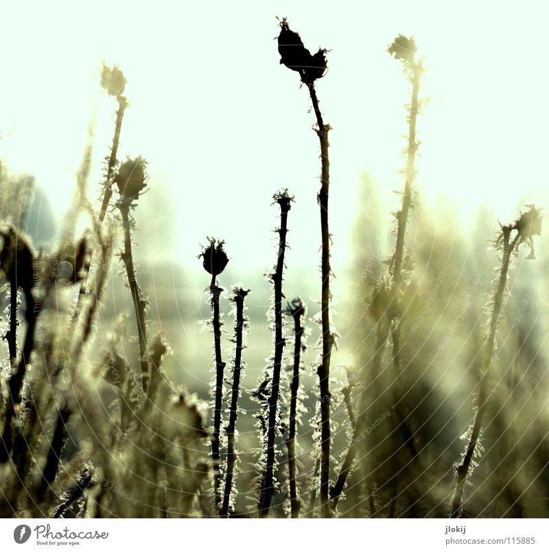Frozen Pflanze Gras Wiese Dorn Gegenlicht dunkel Morgen verwaschen Gegend kalt Winter Jahreszeiten Nebel Natur Stachel Samen Sonne Beleuchtung Landschaft