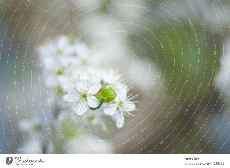Frühlings-Kirschblüten, weiße Blumen. Garten Gartenarbeit Natur Pflanze Baum Blüte Blühend frisch natürlich neu weich Japan vereinzelt Überstrahlung geblümt
