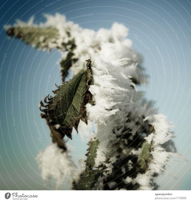 Eiszeit Natur Himmel weiß grün blau Winter kalt Schnee Frost frieren Raureif Eiskristall Dezember tauen Heilpflanzen