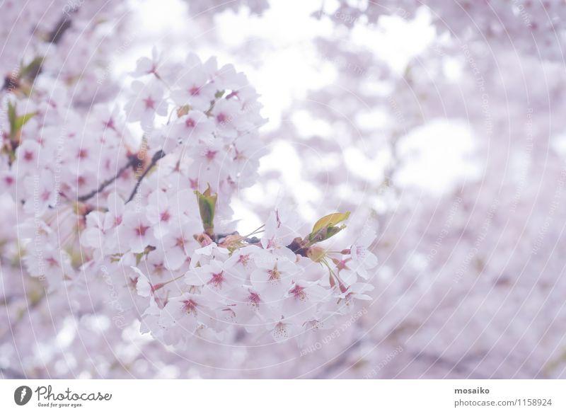 Frühlings-Kirschblüten, rosa Blumen Natur Pflanze weiß Baum Blüte natürlich Garten frisch Blühend weich Jahreszeiten zart neu Blütenblatt