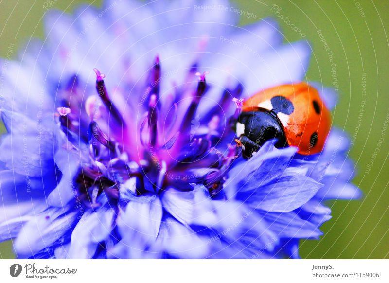 Marienkäfer an blauer Blüte Umwelt Natur Pflanze Tier Sommer Blume Käfer 1 Blühend Duft krabbeln ästhetisch natürlich rot schwarz weiß Lebensfreude