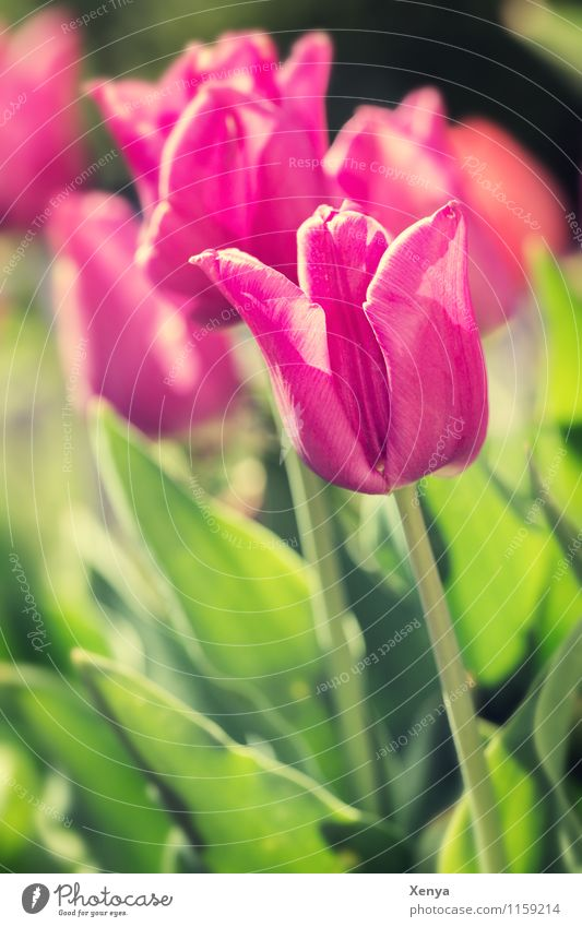 Tulpen im Sonnenlicht Umwelt Natur Pflanze Blume Blatt Blüte Garten Blühend grün rosa rot Lebensfreude Frühlingsgefühle Farbfoto Außenaufnahme Menschenleer