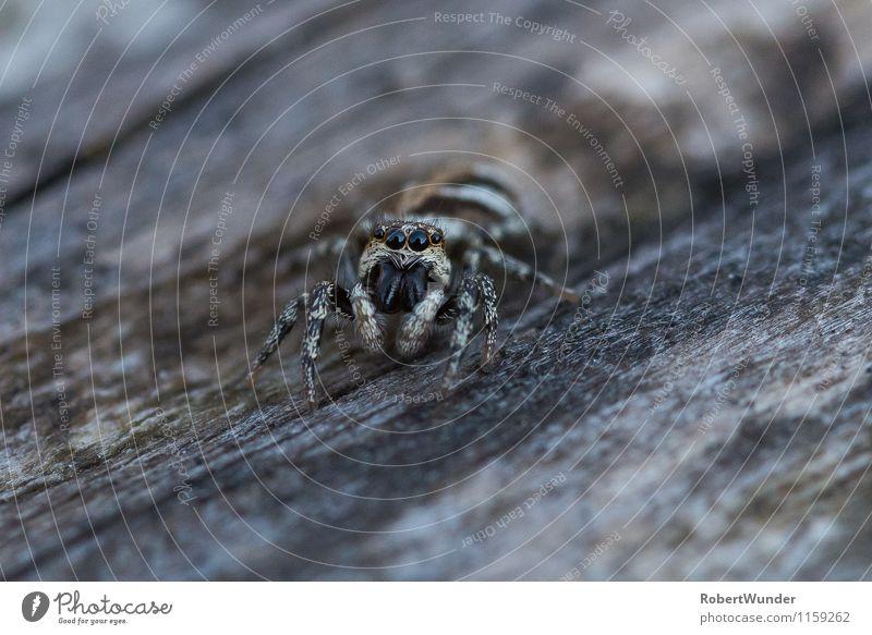 Zebraspringspinne Natur weiß Tier schwarz grau Garten bedrohlich Tiergesicht Spinne Zebraspringspinne