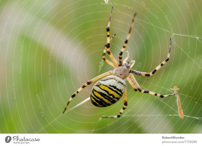 Wespenspinne Natur Schönes Wetter Wiese Tier Spinne 1 gelb grün schwarz weiß Umwelt Spinnennetz Farbfoto Außenaufnahme Nahaufnahme Makroaufnahme