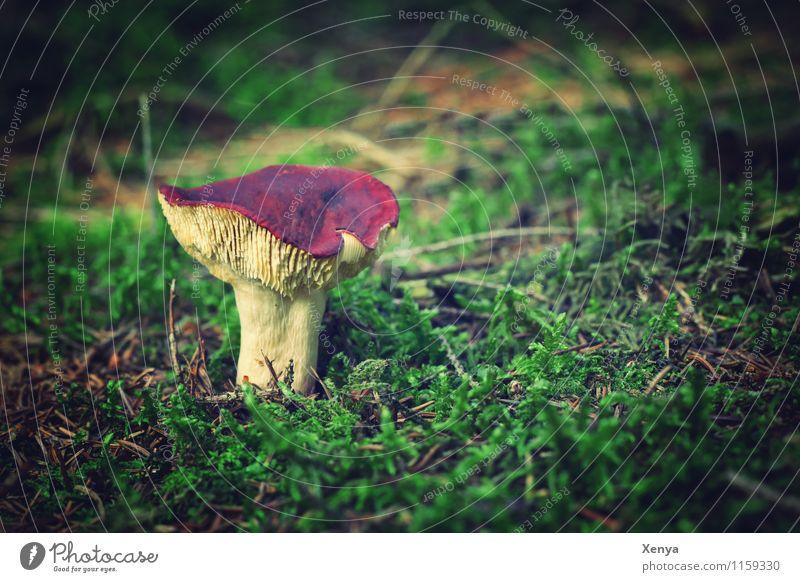 Rotkopf Natur Pflanze grün rot Wald Herbst Pilz herbstlich Pilzhut Lamelle