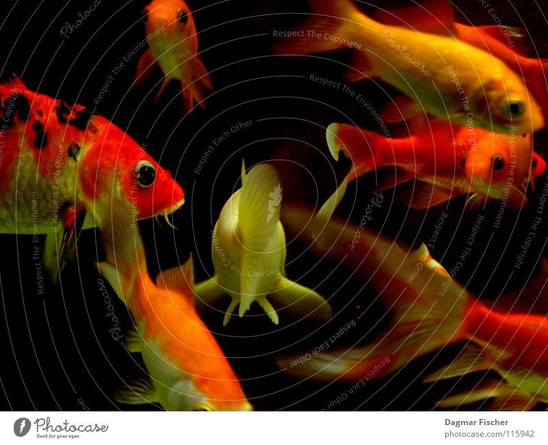 Die Beute von Fischers Fritz Wasser rot Meer Tier gelb Leben Ernährung See Freundschaft Zusammensein orange nass gold mehrere Fluss