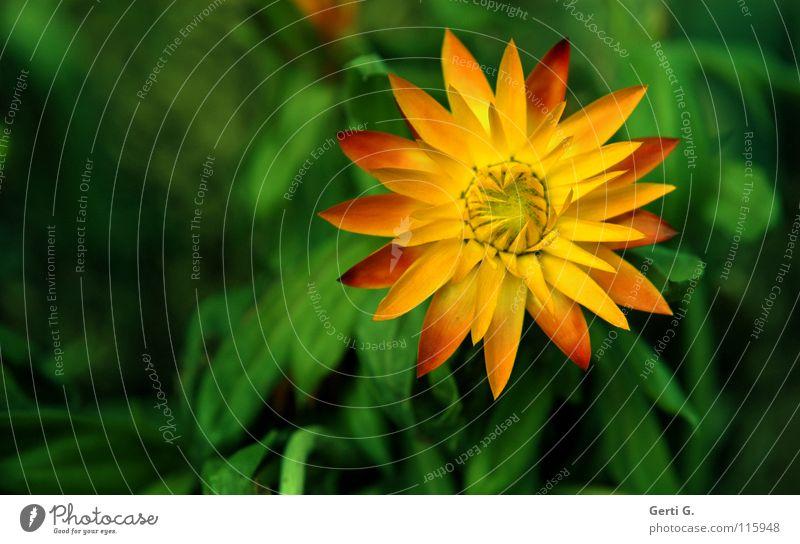 Winterschönchen Strohblume Blume winterfest gelb mehrfarbig grün Blüte Blütenblatt Physik Garten Park everlasting immortelle strawflower frostresistent Wärme