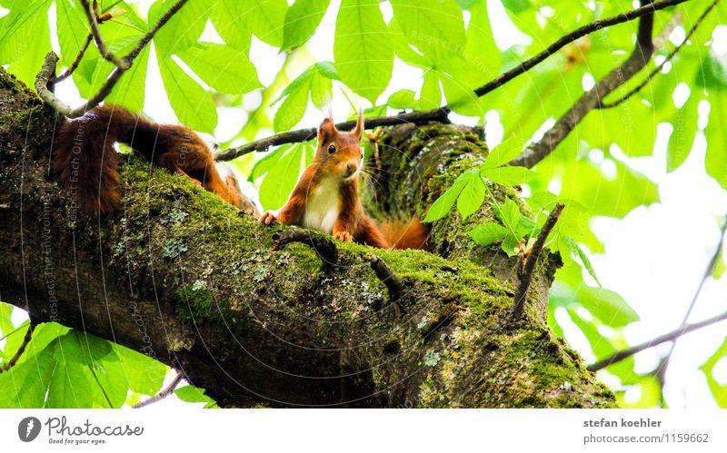 Eichhörnchen Ausflug Natur Frühling Schönes Wetter Baum Wald Tier Wildtier 2 Tierpaar beobachten Blick Freundlichkeit Glück klein niedlich positiv braun grün