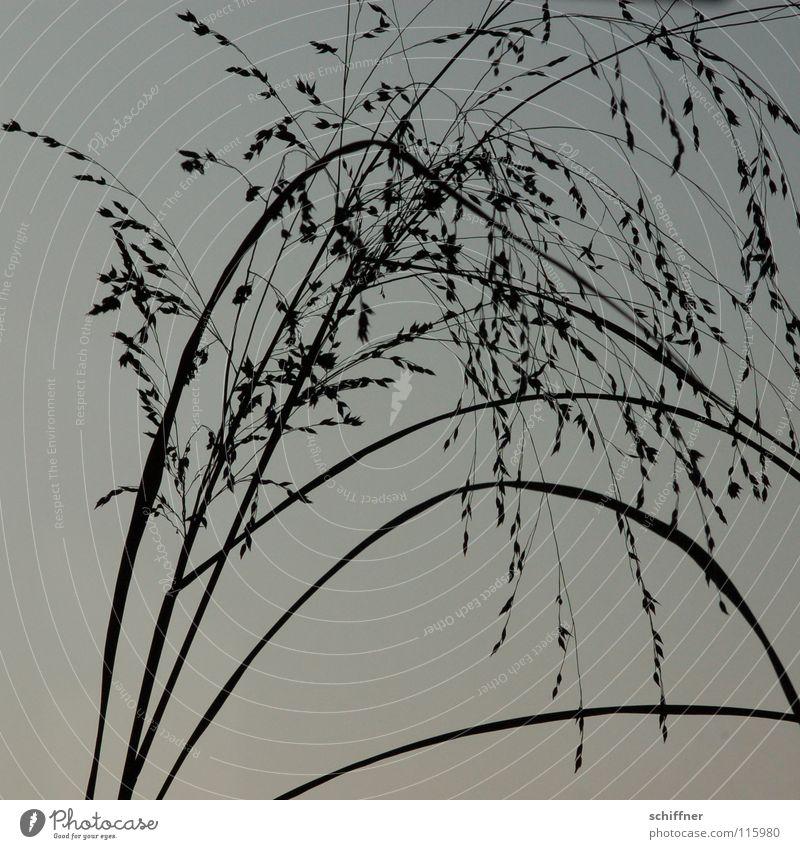 grau gezittert Gras Ziergras Halm Pflanze schwarz Trauer Leichtigkeit ruhig Erholung Zittergras grau in grau