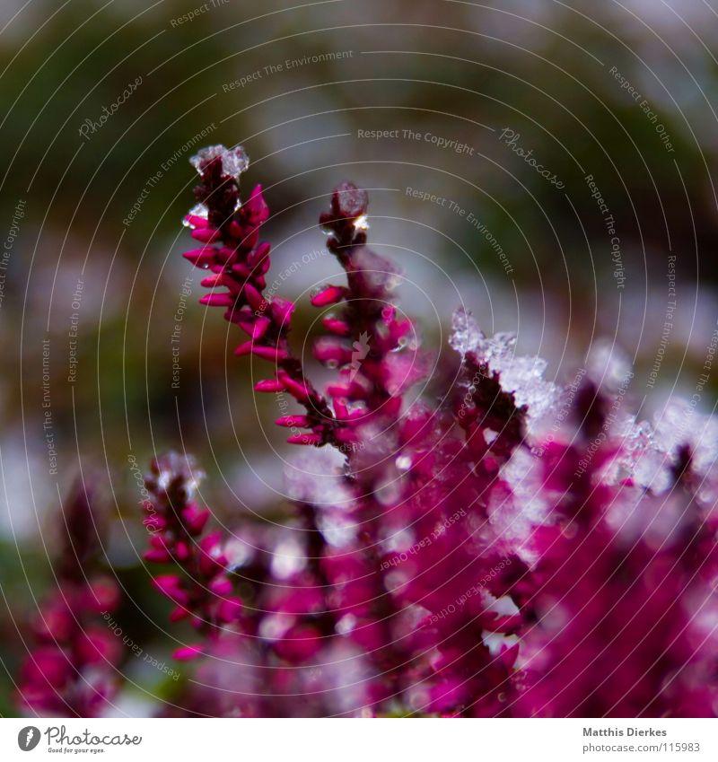 Frost Winter Eis Pflanze rot rosa Hintergrundbild Blumenbeet Unschärfe selektiv bewegungslos Friedhof Ausdauer kalt frieren Eiszapfen Dezember Frühling Stengel