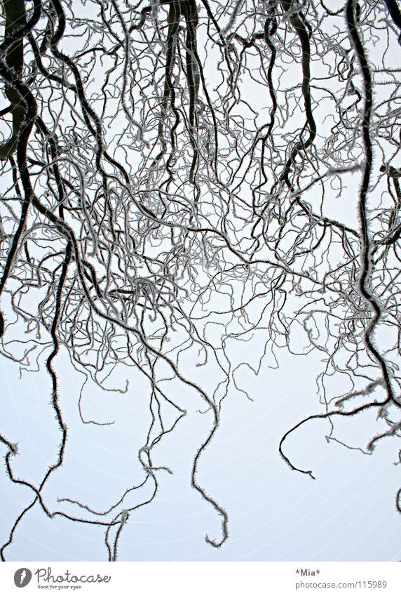 winter Himmel weiß Baum Winter schwarz kalt Schnee Eis Frost Ast Korkenzieher-Weide