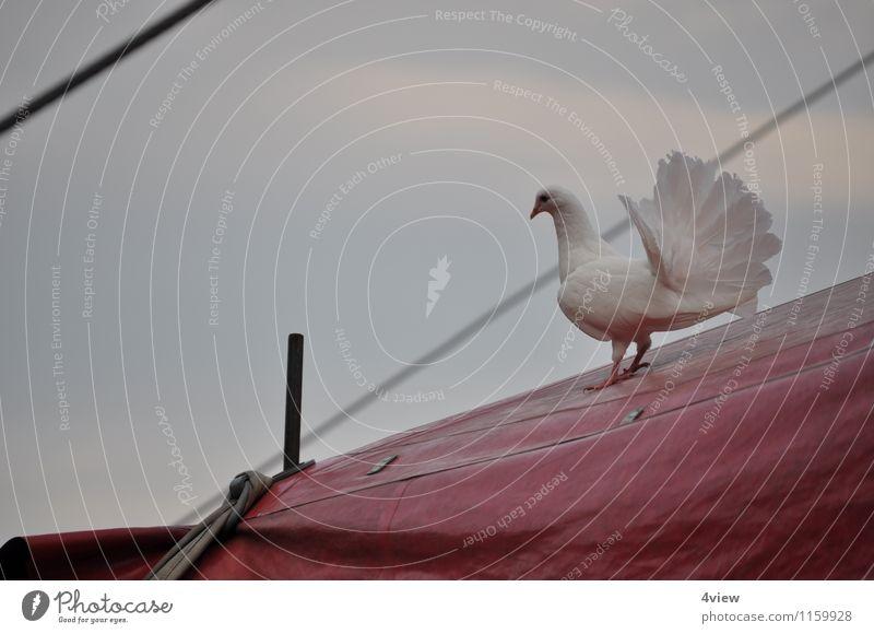 Zauberhafte Taube 2 Zirkus Flügel Zeltplane fliegen rot weiß Liebe Farbfoto