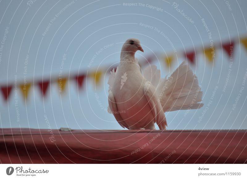 Zauberhafte Taube 1 Zirkus Veranstaltung Zauberer Tier Himmel Zelt Zirkuszelt Vogel Bewegung Außenaufnahme