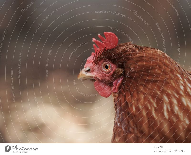 Ganz scharf hingeschaut Landwirtschaft Forstwirtschaft Tier Haustier Nutztier Vogel Tiergesicht Haushuhn Tierporträt Kopf Kamm Feder 1 beobachten entdecken