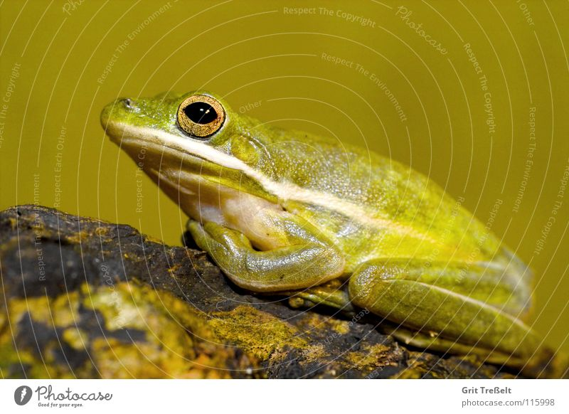 Amerikanischer Laubfrosch grün Amerika Frosch Laubfrosch Lurch