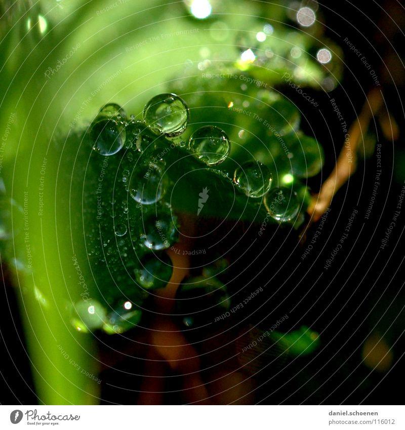 Tautropfen 1 Wassertropfen Klarheit frisch Sauberkeit rein Blatt grün glänzend Licht Morgen Gras durchsichtig Hintergrundbild Wiese Makroaufnahme Nahaufnahme