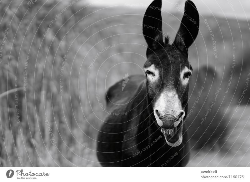 smile Nutztier Wildtier Pferd Tiergesicht Esel 1 Freude Spaßvogel lachen grinsen Lächeln Freundlichkeit Fröhlichkeit Glück Neugier niedlich Gefühle Stimmung