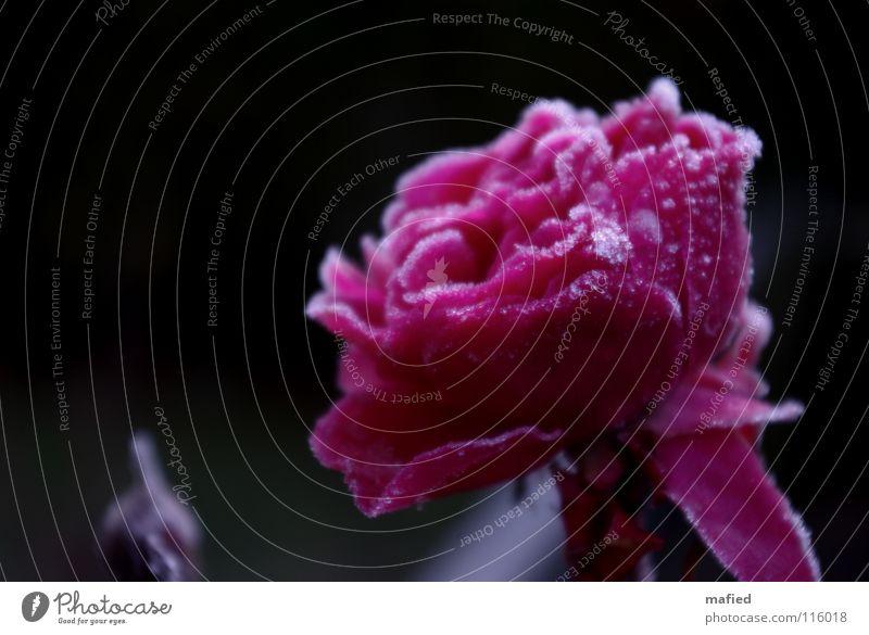 Eisrose schön Blume Winter kalt Blüte rosa Rose Frost gefroren Kristallstrukturen Raureif erfrieren
