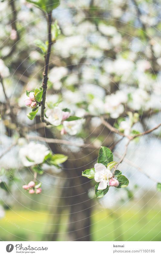 Blühe. Umwelt Natur Pflanze Sonnenlicht Frühling Schönes Wetter Wärme Baum Blatt Blüte Nutzpflanze Obstbaum Kirschbaum Apfelbaum Feld Blühend Wachstum