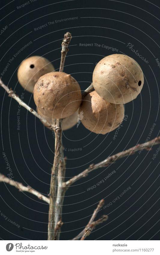 Gallapfel Natur frei braun schwarz Eichengalle böse Eichengallwespe Cynips quercusfolii Eichengallen Galle Gallen Gallaepfel Eichenblattgalle Eichenblattgallen
