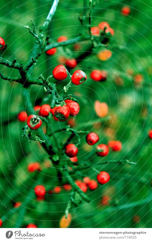grün Natur grün Pflanze rot Winter Farbe Herbst Märchen Beeren Vogelbeeren
