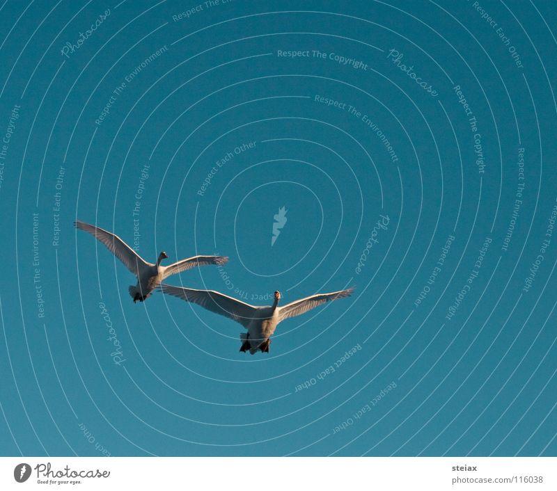 Anflug 1 Winter See Teich Schwan Vogel Überflug Formation Freundschaft Segelfliegen Sonnenuntergang Anmut Luftverkehr Himmel swan