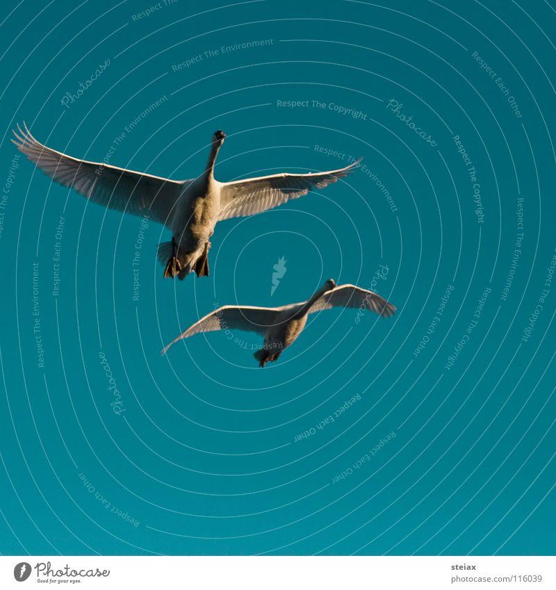 Anflug 2 Winter See Teich Schwan Vogel Überflug Formation Freundschaft Segelfliegen Sonnenuntergang Anmut Luftverkehr Himmel swan