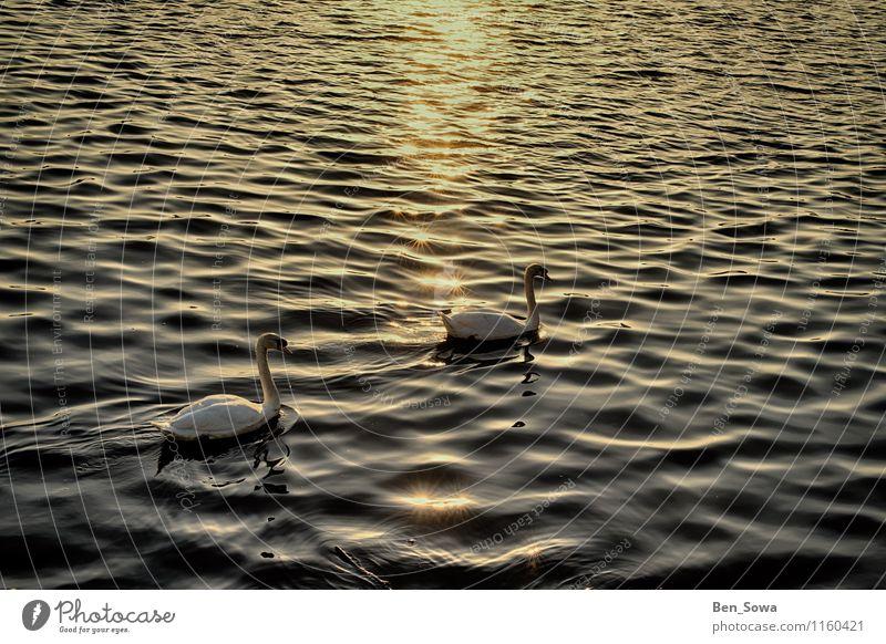 Schwäne bei Sonnenuntergang Wellness harmonisch Zufriedenheit Erholung ruhig Meditation Natur Sonnenaufgang Sonnenlicht Frühling Sommer Schönes Wetter Wellen