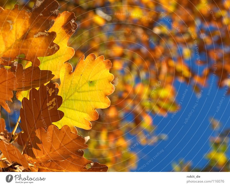 Goldener Herbst Blatt Eiche Baum Laubbaum fallen gelb Laubwald Rheingau Himmel gold blau chlorophyl Farbe Eicheln verdrocknet martinsthal